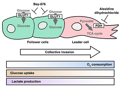 Overview of metabolically heterogeneous cellular subtypes in collective invasion and proposed co-targeting approach.